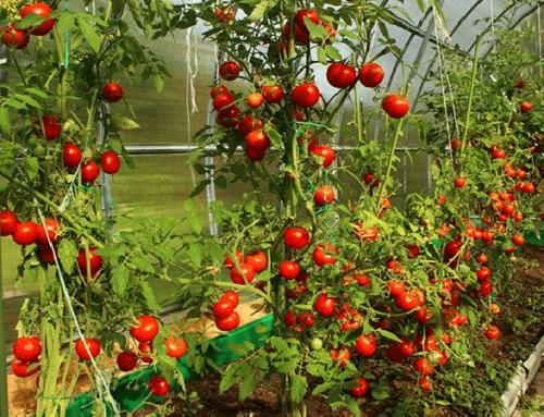 ¿Cómo entutorar los Tomates?