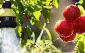 Como regar tomate
