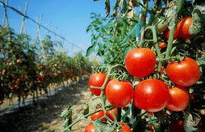 entutorar tomates