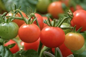 riego en el tomate