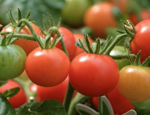 Riego del tomate ¿Cómo y cuándo debe ser?