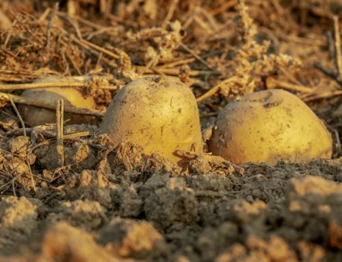 Cómo y Cuándo Sembrar Patatas