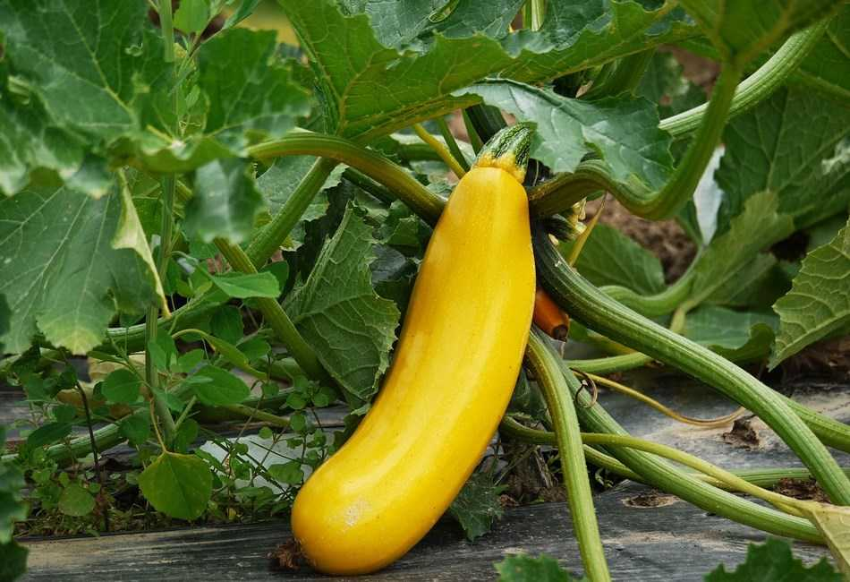 Cultivo de calabacin